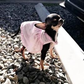 A Chihuahua de Paris Hilton é tão extravagante quanto ela. Sua dona sempre a veste com roupas rosas, diamantes e acessórios Foto: Instagram.com/DiamondBabyx